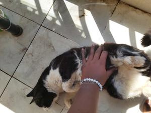 6-12 Month Male Mixed Breed Somali | Cats & Kittens for sale in Nairobi, Kangemi