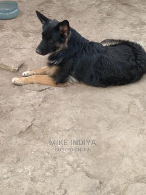 1+ Year Male Purebred German Shepherd   Dogs & Puppies for sale in Nairobi, Karen