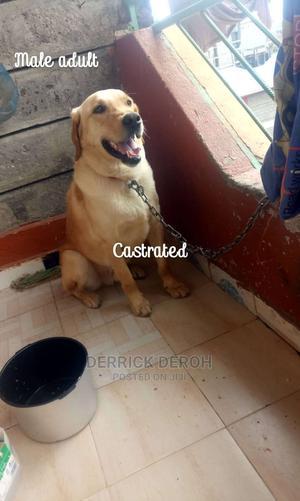 1+ Year Male Purebred Labrador Retriever | Dogs & Puppies for sale in Nairobi, Nairobi Central