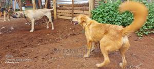 1+ Year Female Purebred Golden Retriever   Dogs & Puppies for sale in Uasin Gishu, Eldoret CBD