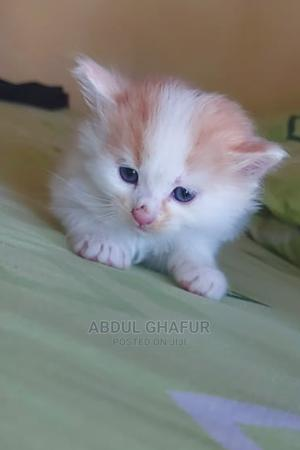 3-6 Month Female Purebred Persian   Cats & Kittens for sale in Nairobi, Dandora