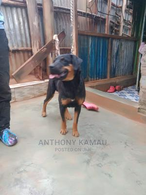 6-12 Month Male Purebred Rottweiler | Dogs & Puppies for sale in Nairobi, Dagoretti