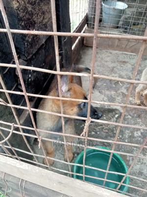 1-3 Month Female Purebred Belgian Malinois   Dogs & Puppies for sale in Kiambu, Ndenderu