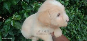1-3 Month Female Purebred Maltese   Dogs & Puppies for sale in Nairobi, Westlands
