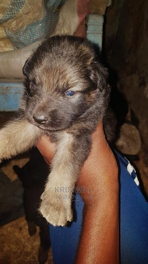 1-3 Month Male Purebred German Shepherd   Dogs & Puppies for sale in Kisumu, Kisumu Central