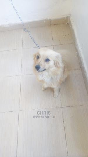 6-12 Month Female Purebred Japanese Spitz   Dogs & Puppies for sale in Kajiado, Ongata Rongai