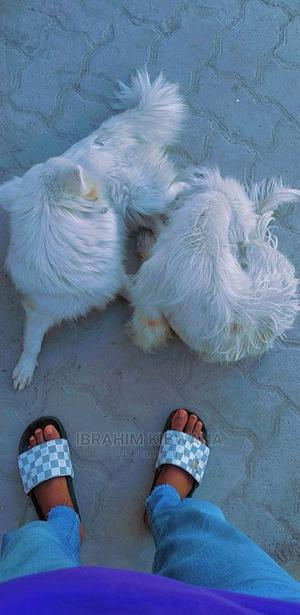 1+ Year Female Mixed Breed Japanese Spitz | Dogs & Puppies for sale in Mombasa, Bamburi