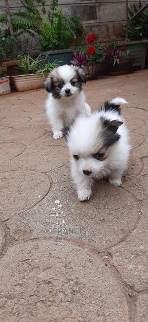 3-6 Month Female Mixed Breed Japanese Spitz | Dogs & Puppies for sale in Nairobi, South C
