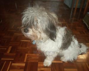 1+ Year Female Purebred Maltese | Dogs & Puppies for sale in Kajiado, Ongata Rongai