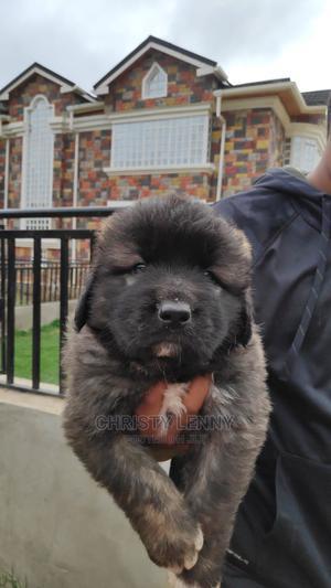 1-3 Month Male Purebred Caucasian Shepherd | Dogs & Puppies for sale in Nairobi, Utawala
