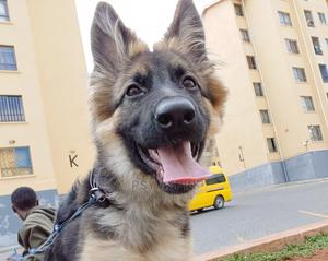 3-6 Month Female Purebred German Shepherd | Dogs & Puppies for sale in Nairobi, Nairobi Central