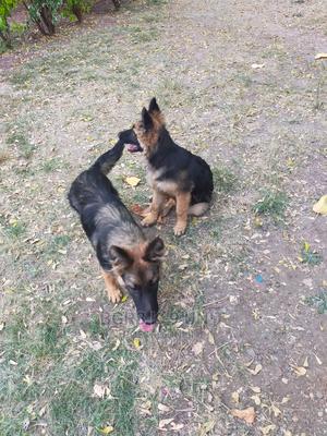 3-6 month Female Purebred German Shepherd | Dogs & Puppies for sale in Kajiado, Kitengela