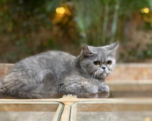 1+ Year Female Purebred Persian | Cats & Kittens for sale in Kiambu, Ruiru