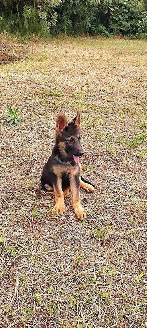 3-6 Month Female Purebred German Shepherd | Dogs & Puppies for sale in Kiambu, Ndenderu