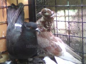 Healthy Cross Matured Parents | Birds for sale in Mombasa, Kisauni