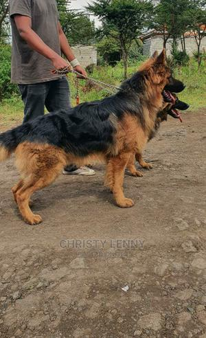 1-3 Month Male Purebred German Shepherd | Dogs & Puppies for sale in Kajiado, Ongata Rongai
