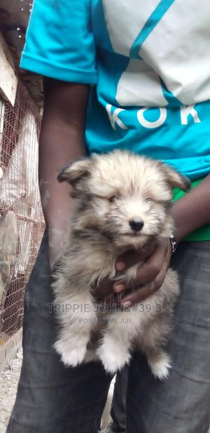 1-3 Month Female Mixed Breed Havanese   Dogs & Puppies for sale in Machakos, Athi River