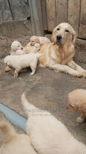 1-3 Month Male Purebred Golden Retriever | Dogs & Puppies for sale in Nairobi, Kahawa