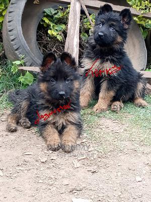 1-3 Month Female Purebred German Shepherd | Dogs & Puppies for sale in Nakuru, Nakuru Town East