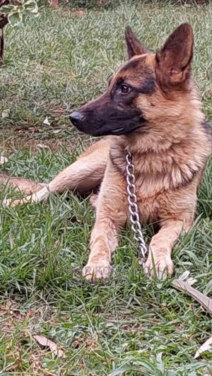 1+ Year Male Purebred German Shepherd | Dogs & Puppies for sale in Migori, Central Sakwa (Awendo)