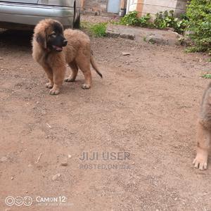 1-3 Month Female Purebred Caucasian Shepherd | Dogs & Puppies for sale in Kiambu, Ruiru