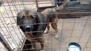 1+ Year Male Purebred Caucasian Shepherd | Dogs & Puppies for sale in Nairobi, Ruaraka