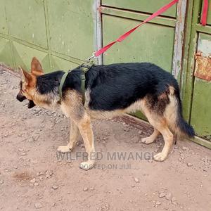 6-12 Month Male Purebred German Shepherd | Dogs & Puppies for sale in Kiambu, Ruiru