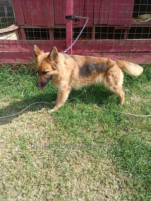 1+ Year Female Purebred German Shepherd | Dogs & Puppies for sale in Nakuru, Nakuru Town East