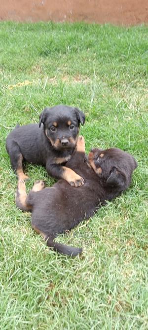 1-3 Month Male Purebred Rottweiler   Dogs & Puppies for sale in Kiambu, Juja