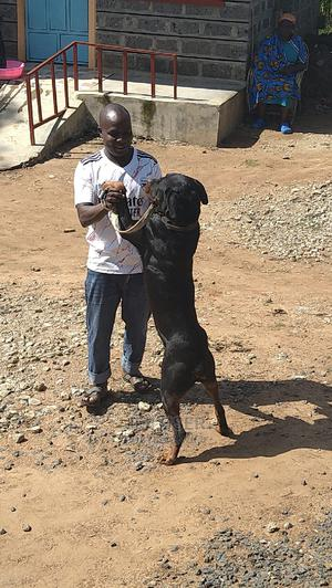 1+ Year Male Mixed Breed Boerboel   Dogs & Puppies for sale in Trans-Nzoia, Kitale