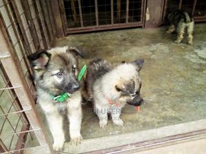 3-6 Month Male Purebred German Shepherd   Dogs & Puppies for sale in Trans-Nzoia, Kitale