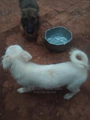1-3 Month Male Purebred Japanese Spitz   Dogs & Puppies for sale in Kiambu, Ruaka
