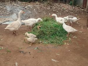 Domestic Goose | Birds for sale in Uasin Gishu, Eldoret CBD