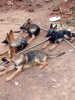 3-6 Month Male Mixed Breed German Shepherd   Dogs & Puppies for sale in Nairobi, Parklands/Highridge