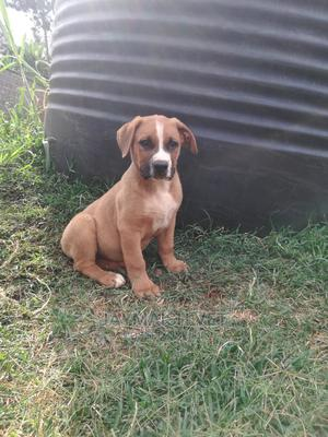 1-3 Month Male Purebred Boerboel | Dogs & Puppies for sale in Nairobi, Nairobi Central