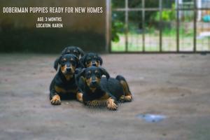 1-3 Month Male Purebred Doberman Pinscher   Dogs & Puppies for sale in Nairobi, Karen