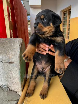 1-3 Month Male Purebred Rottweiler   Dogs & Puppies for sale in Nairobi, Ruai