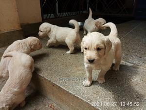 1-3 Month Female Purebred Golden Retriever   Dogs & Puppies for sale in Mombasa, Nyali
