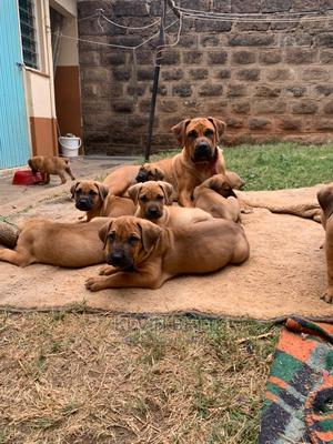 1-3 Month Female Purebred Boerboel | Dogs & Puppies for sale in Nairobi, Langata