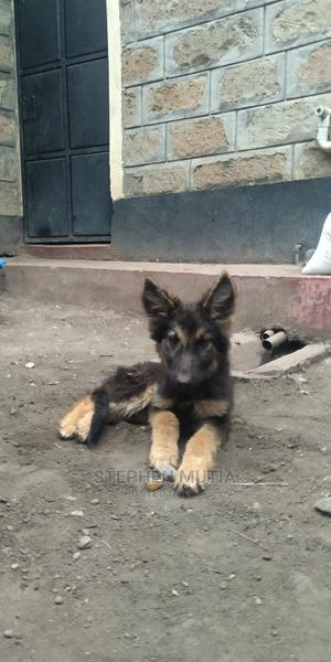 1-3 Month Male Purebred German Shepherd | Dogs & Puppies for sale in Nairobi, Githurai