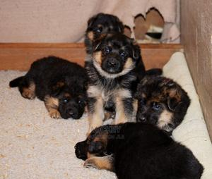 0-1 Month Male Purebred German Shepherd | Dogs & Puppies for sale in Mombasa, Bamburi