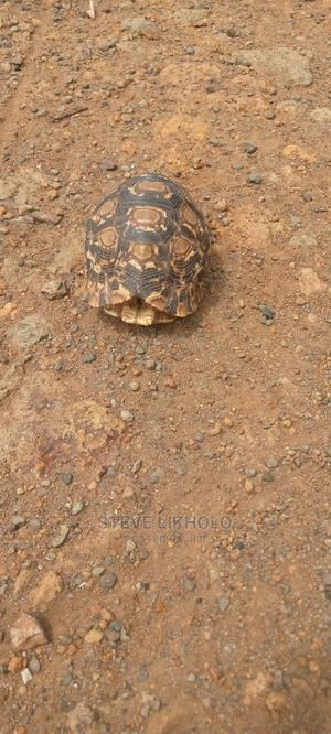 African Spurred Tortoise | Reptiles for sale in Nairobi, Nairobi Central