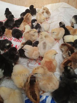 4days Improved Kienyeji Chicks. | Livestock & Poultry for sale in Nairobi, Kariobangi