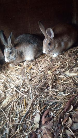 Rabbits Dead and Live Weight | Livestock & Poultry for sale in Kajiado, Ongata Rongai