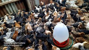 2 Months Old Vaccinated Improved Kienyenji | Livestock & Poultry for sale in Nairobi, Karen
