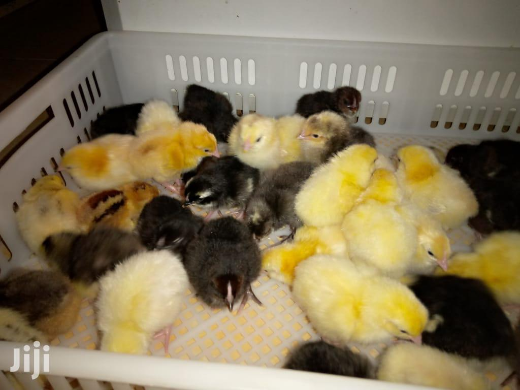 Archive: Improved Kienyeji Chicks (Kari)
