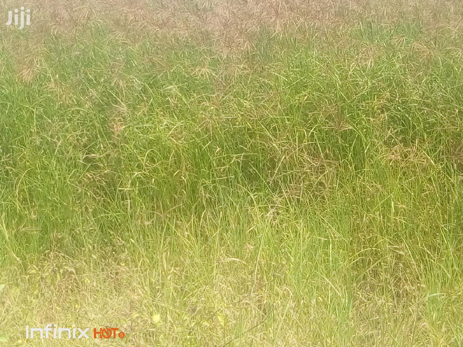 Boma Rhodes Hay Grass Seeds