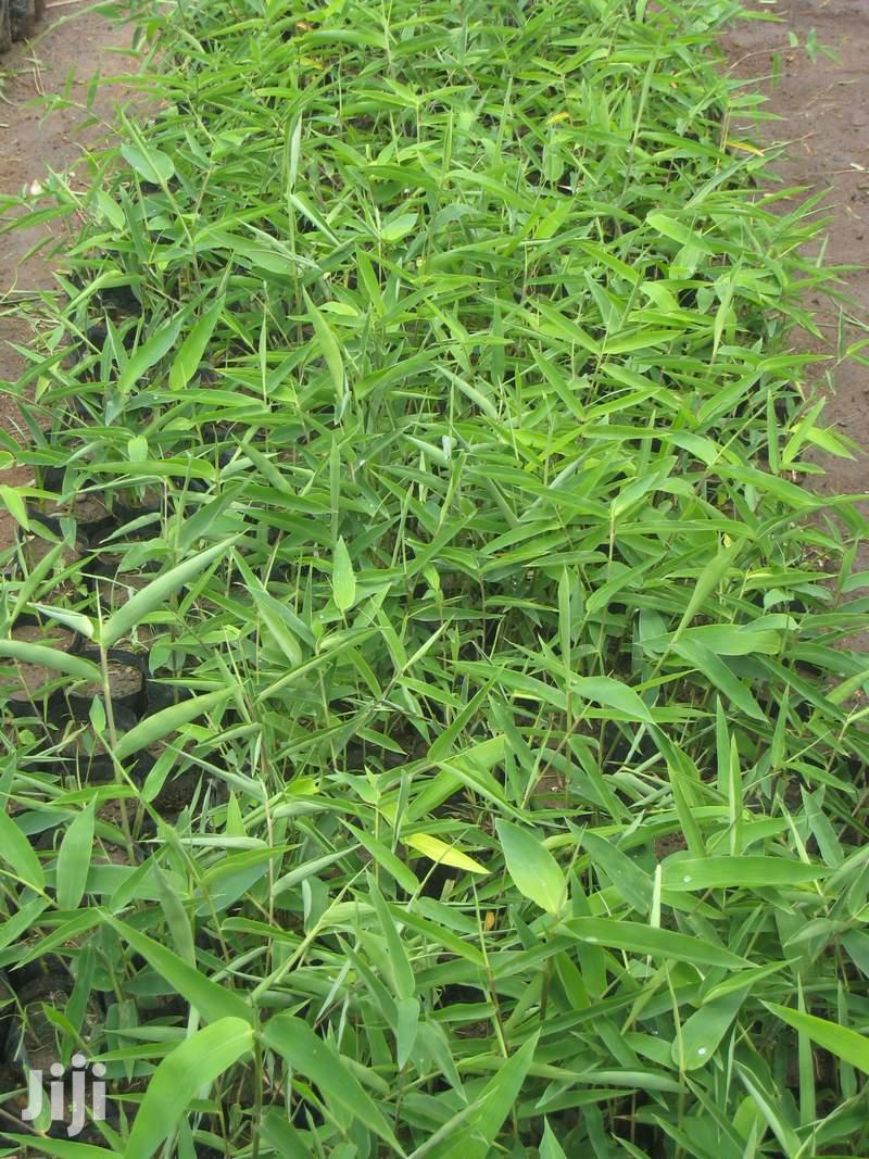 Archive: Delta Bamboo Seedlings