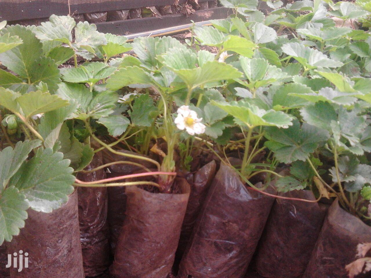 Strawberries Seedlings Potted