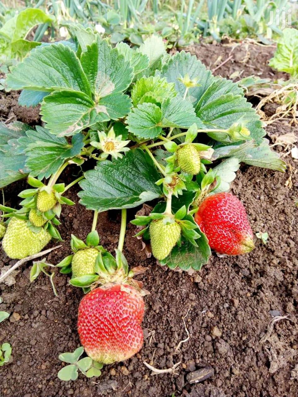 Strawberries Seedlings Potted | Feeds, Supplements & Seeds for sale in Nairobi Central, Nairobi, Kenya